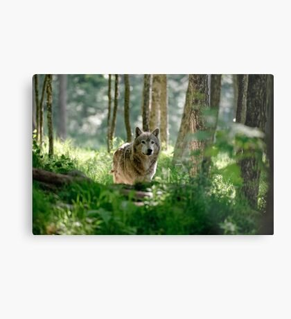 Timberwolf in Forest Metal Print