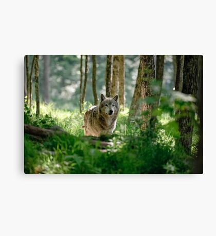 Timberwolf in Forest Canvas Print