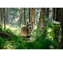 Timberwolf in Forest Photographic Print