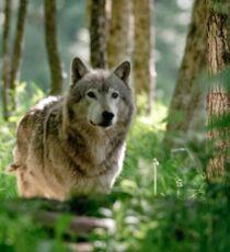 Timberwolf in Forest Sticker