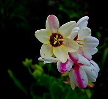 Ixia by Tom Newman