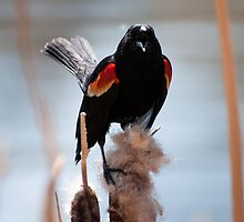 Red-winged Blackbird (male) trilling on a cattail by Joy Leong-Danen