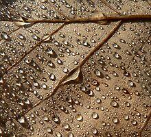 Autumn Leaves - Tulip Tree Dew by Adrian S. Lock