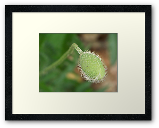 A poppy bud ready to burst forth into the world. by William Brennan