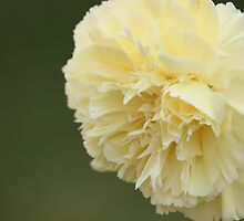 Cream Carnation by reflector