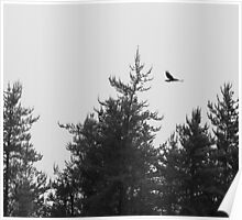 Raven Flying in Black and White Poster