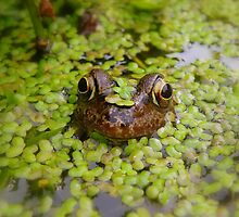 Stealth Frog by Rob Parsons