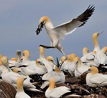 gannet: the take away arrives by Grandalf