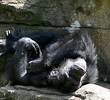 chimp napping by wolf6249107
