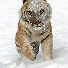 Siberian Tiger by mrshutterbug