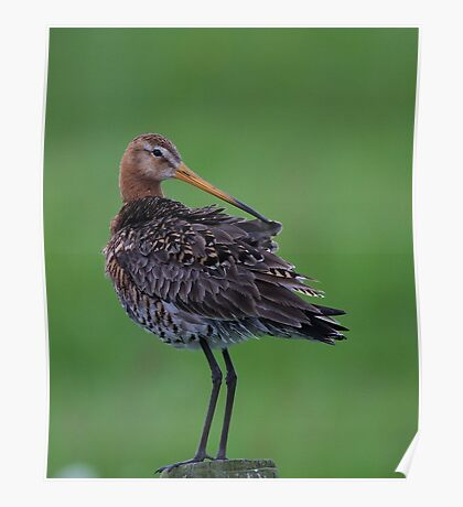 Black-tailed Godwit Poster