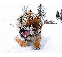 Siberian Tiger Photographic Print