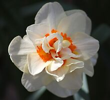 Blooming Double Daffodil  by Cynthia48
