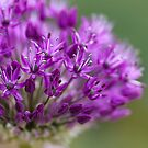 Allium by Mandy Disher