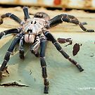 HORNED BABOON SPIDER - Ceratogyrus brachycephalus by Magriet Meintjes