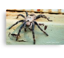 HORNED BABOON SPIDER - Ceratogyrus brachycephalus Canvas Print