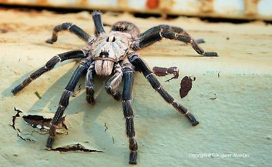 HORNED BABOON SPIDER - Ceratogyrus brachycephalus by Magaret Meintjes