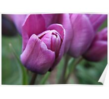 Lilac Tulips Poster