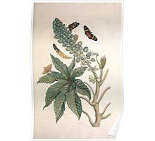 Metamorphosis insectorum surinamensium Maria Sibylla Merian 1705 0099 Insects of Surinam_jpg Poster