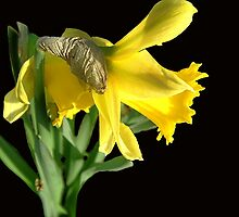 Daffodil on Black by rodgeyrog