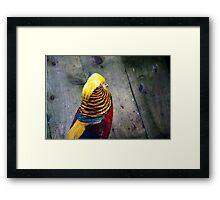 Golden Pheasant (Chrysolophus pictus) Framed Print