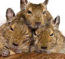 Dozing Degu Trio by lmaiphotography