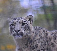 snow leopard contemplation by Grandalf