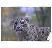 snow leopard contemplation Poster