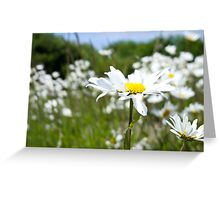 Ox-eye Daisy (Leucanthemum vulgare) Greeting Card