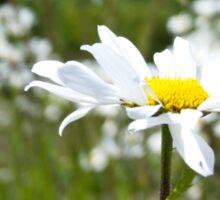 Ox-eye Daisy (Leucanthemum vulgare) Sticker