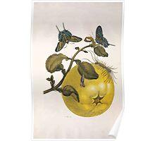 Metamorphosis insectorum surinamensium Maria Sibylla Merian 1705 0096 Insects of Surinam_jpg Poster