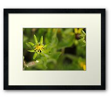 Blooming Black Eyed Susan Framed Print