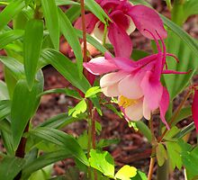Pink Columbine by CountryVistas
