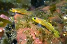 Relaxing Blenny by lgraham