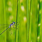 deep blue damselfly by Manon Boily