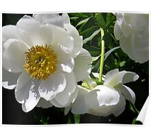 White Peony Cluster Poster