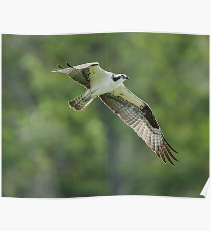 Osprey: The Great Fish Eating Raptor Poster