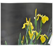 Yellow Water Lilly Poster