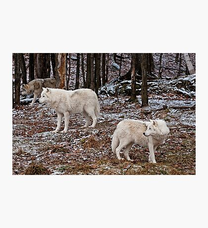 Arctic Wolves In The Woods Photographic Print