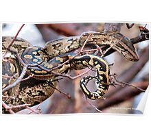 PHYTHON NATALENSIS - The South African python Poster