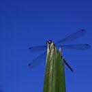 Damsel Fly by coffeeart