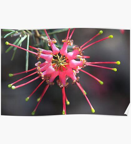 Grevillea pinifolia Poster