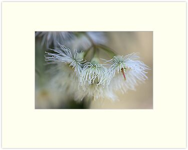 Hush - Eucalyptus Flowers  by Joy Watson