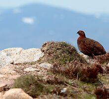 Red Grouse, Lochnagar by Ian Sanders