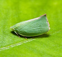 Leaf Hopper by Colin  Ewington
