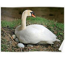 Swan sitting on her eggs Poster