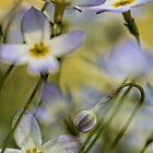 Bluets - Soft Morning Light by T.J. Martin