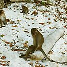 monkeys by oralphd