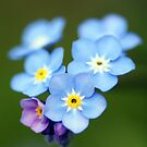 Woodland Forget-me-not by Moonlake