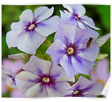 Fly on Phlox Poster